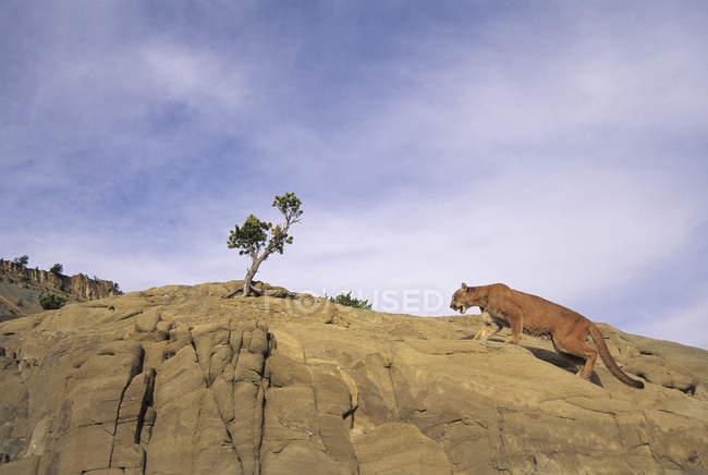 Caccia al leone di montagna su rocce desertiche, vista ad angolo basso — Foto stock