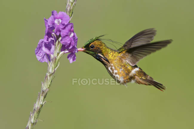 Black-crested coquette flying and feeding at flowers in tropical forest. — стокове фото
