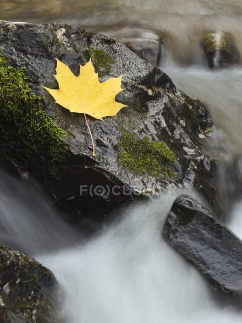 Крупный план кленового листа на скале в ручье — стоковое фото