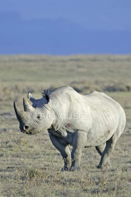 En peligro permanente de rinoceronte negro en un pastizal del Parque Nacional de Nakuru, Kenya, East Africa - foto de stock