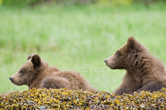 Juvenile grizzly bears relaxing on mossy rocks. — Stock Photo