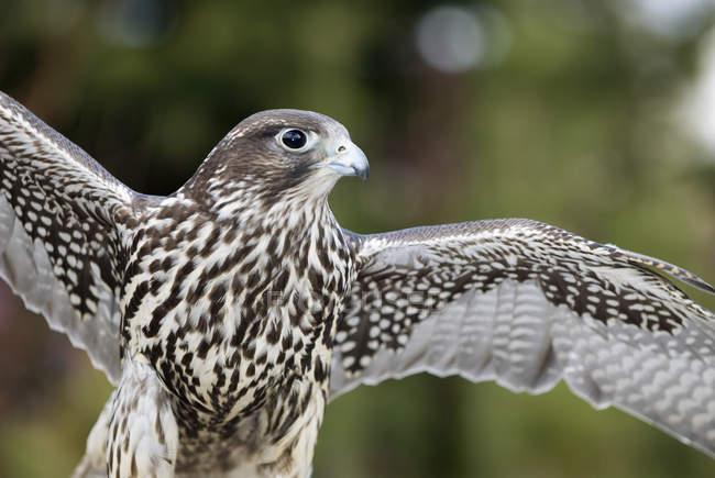 Gyr falcon volando con ali spiegate all'aperto. — Foto stock