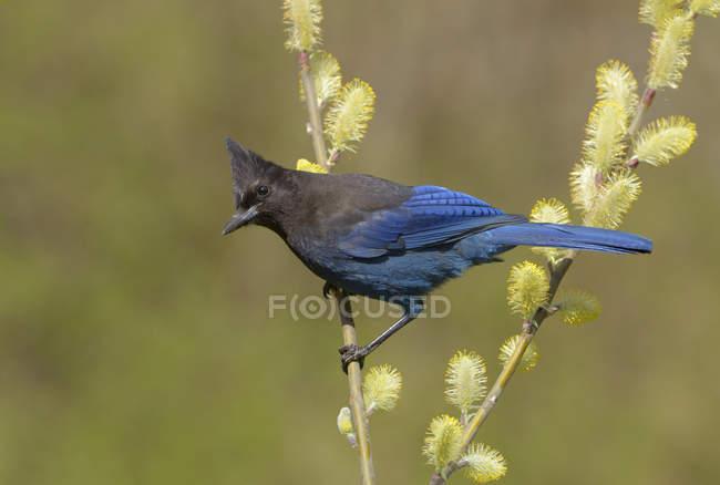 Pájaro jay Steller de plumas azules posado en un árbol con amentos . - foto de stock