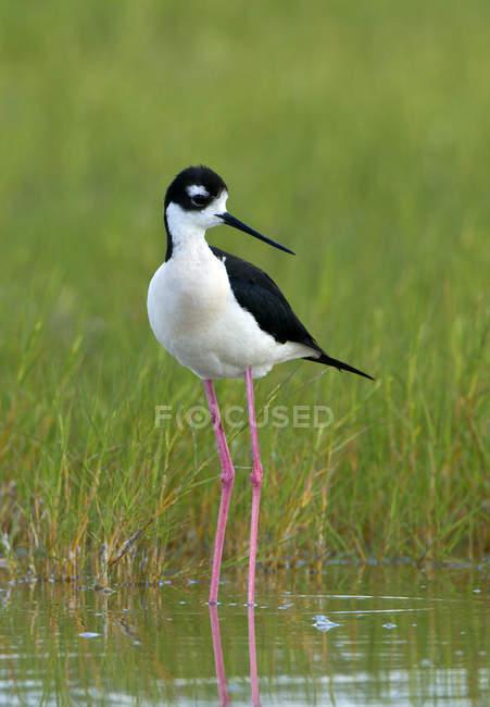 Black-necked stilt wading in swamp water — Stock Photo