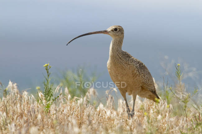 Long-billed curlew wading on meadow grass — стоковое фото