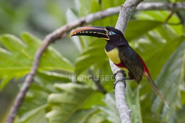 Aracari castagno-eared esotico uccello appollaiato sul ramo in Perù. — Foto stock