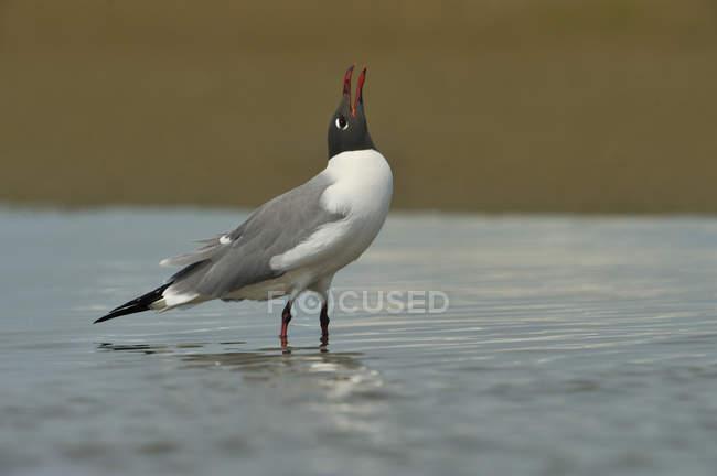 Riendo gaviota de pie y llamando con la cabeza en el agua, de cerca . - foto de stock