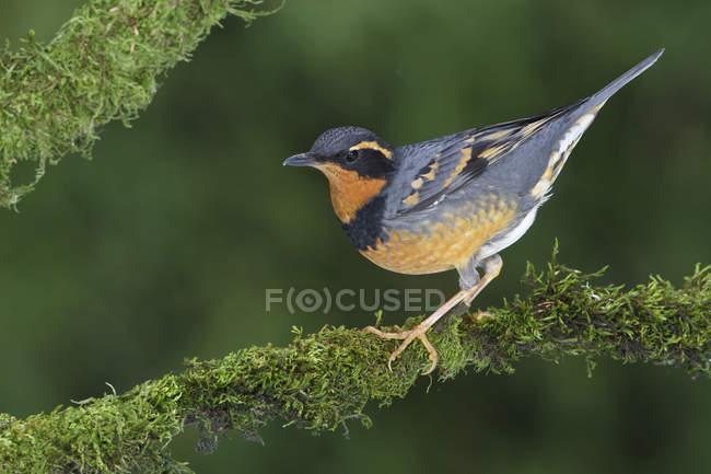 Varied thrush uccello appollaiato sulla filiale nel bosco — Foto stock