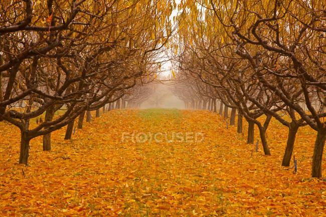 Scenery of pear orchard in autumn, Okanagan Valley, British Columbia, Canada. — Stock Photo