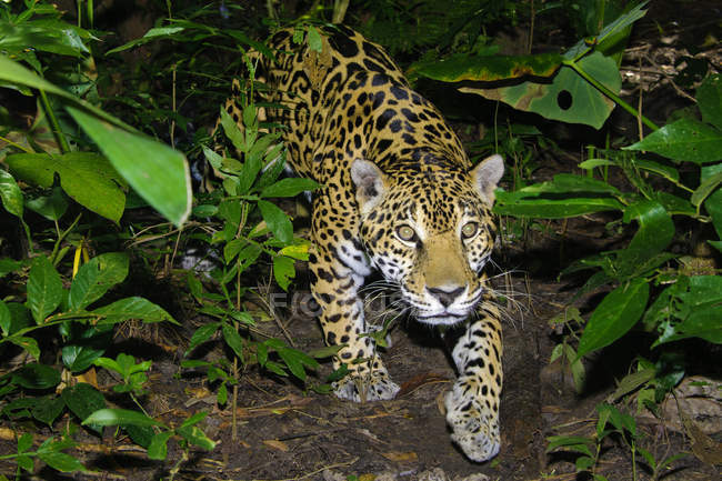 Jaguar walking stealthy in tropical rain forest, Belize, Central America — Stock Photo