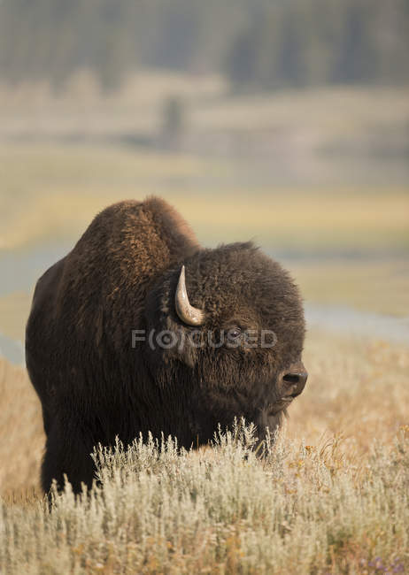 Plains bison bull grazing in meadow of Yellowstone National Park, Montana, USA — Stock Photo