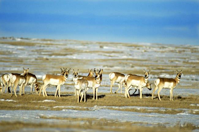 Herd of pronghorns on prairie in Alberta, Canada. — Stock Photo
