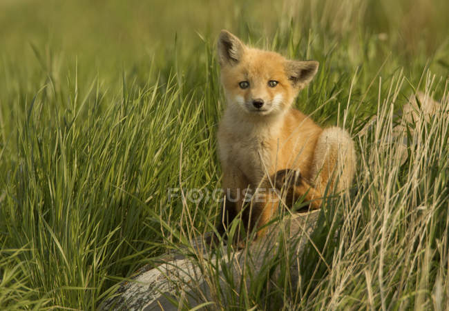 Red fox kit rayer en herbe de la Prairie verte. — Photo de stock
