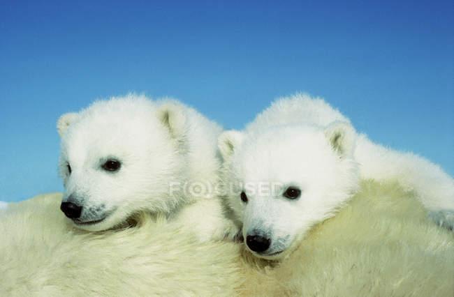 Cuccioli di orso polare coccole su pelliccia animale femminile nella neve del Canada artico . — Foto stock