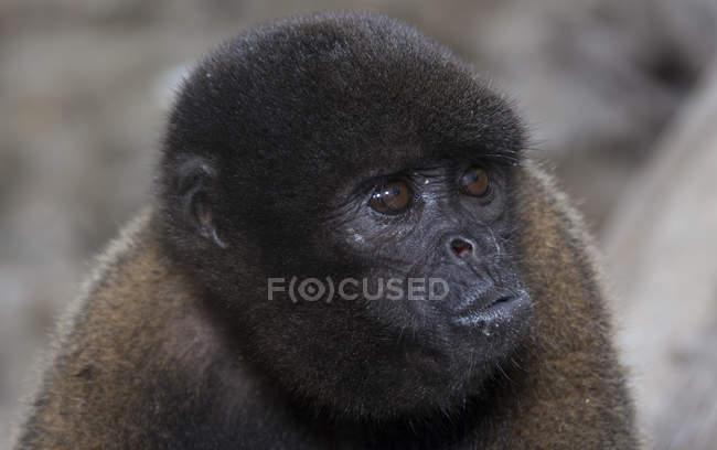 Schwarze affen im regenwald von peru — Stockfoto