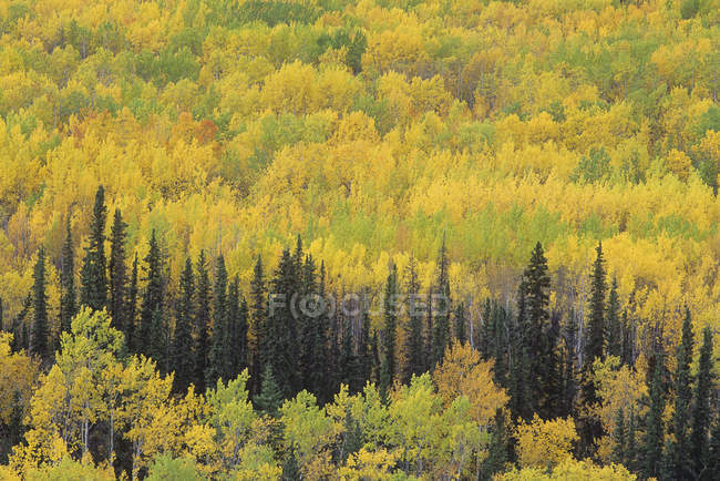 Forest in autumnal foliage along highway in Yukon Territory, Canada. — Stock Photo