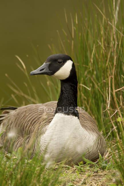 Canada Oca nidificazione in erba prato della Columbia Britannica, Canada — Foto stock
