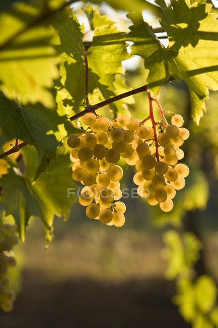 Viognier grapes growing at vineyard farm in sunlight, close-up. — Stock Photo