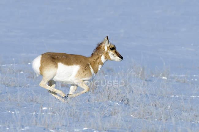 Corça de Antilocapra correndo na pradaria invernal de Alberta, Canadá — Fotografia de Stock