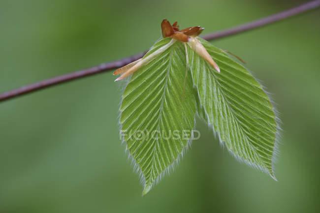 Primo piano del giovane faggio foglie sul ramo — Foto stock