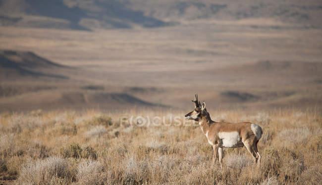 Antilocapra pastando no Prado em Wyoming, EUA — Fotografia de Stock