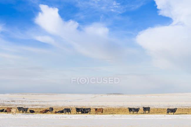 Vieh weidet auf der Weide in der Winterlandschaft von Alberta, Kanada — Stockfoto