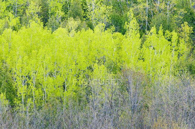 Poplars, birches and maple trees in spring forest near Hope Bay, Ontario, Canada — Stock Photo