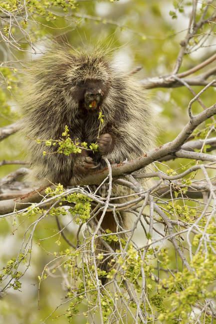 Puerco espín sentado en las ramas de los árboles, primer plano - foto de stock