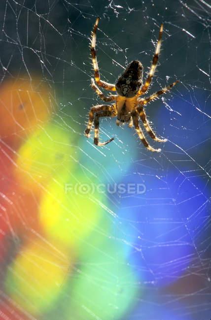 Atravessar a aranha de teia de aranha com luzes arco-íris de bokeh — Fotografia de Stock