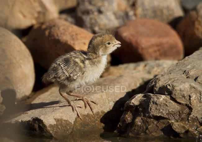 Gambels pé de pintinho sobre rochas áridas de codorniz — Fotografia de Stock