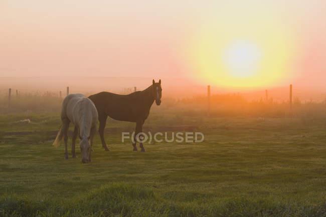 Pferde Weiden im Nebel bei Sonnenaufgang, Rollyview, Alberta, Kanada — Stockfoto