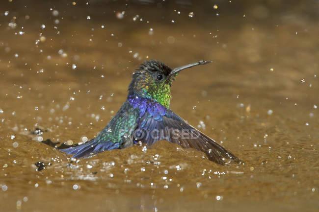Colibrì viola-incoronato woodnymph balneazione nel flusso della foresta tropicale, close-up. — Foto stock