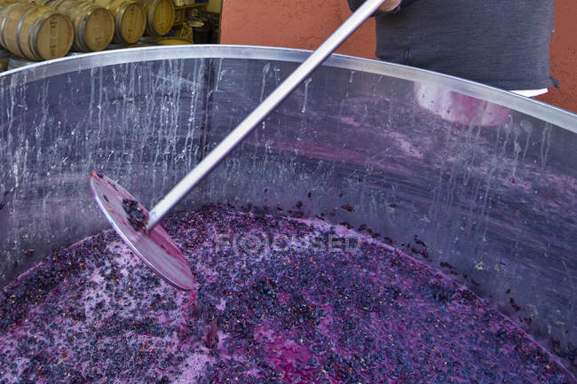 Cropped view of winery worker mashing Pinot Noir grapes in vat during harvest in vineyard. — Stock Photo