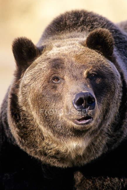 Erwachsene männliche Braunbär in felsigen Bergen, alberta, canada — Stockfoto
