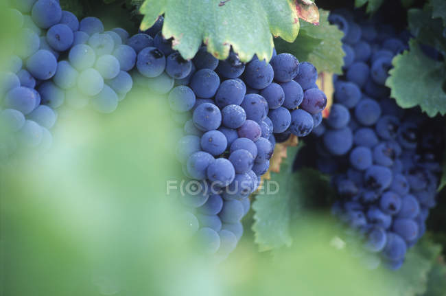 Close-up of growing bunches of grapes with green leaves — Stock Photo