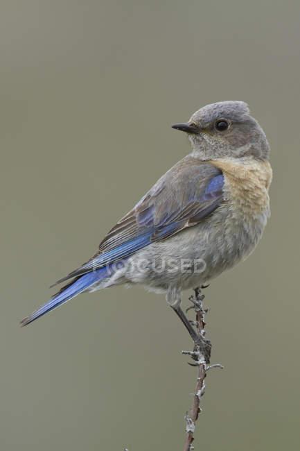 Bluebird ocidental sentado no ramo e olhando para longe — Fotografia de Stock