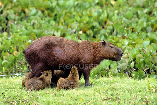Сестринська справа capybara прогулянки з цуценят в Бразилії, Південна Америка — стокове фото