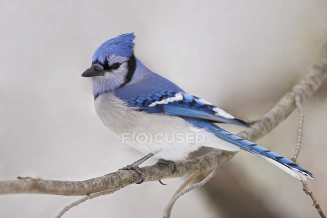 Blue jay bird perched on tree branch in winter, close-up. — Stock Photo