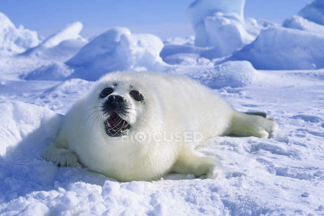 Newborn harp seal pup in white coat at Gulf of Saint Lawrence, Canada. — Stock Photo