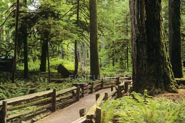Percorso a piedi nel boschetto di Cattedrale nel Parco provinciale di Macmillian, isola di Vancouver, Columbia britannica, Canada. — Foto stock