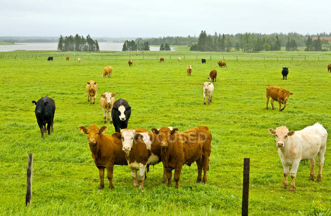 Cows in green pasture of Kings County, Prince Edward Island, Canada — Stock Photo