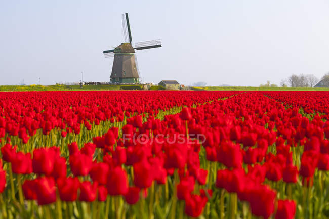 Windmill and red tulips field near Obdam, North Holland, Netherlands — Stock Photo