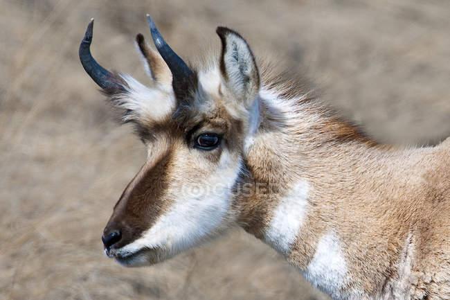 Antilocapra fanfarrão na pradaria canadense, retrato — Fotografia de Stock