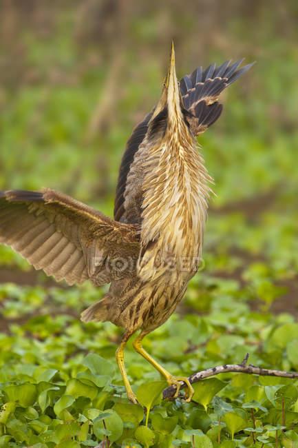 Airone di Tarabuso americano arroccato con ali spiegate sulla filiale di albero in zona umida. — Foto stock