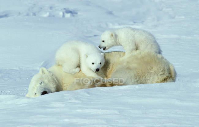 I cuccioli di orso polare che giocano su pelo di animale femminile in neve del Canada Artico . — Foto stock