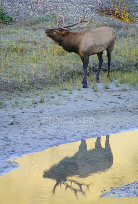Cervo alce che si riflette nella pozzanghera nella foresta dell'Alberta Canada . — Foto stock