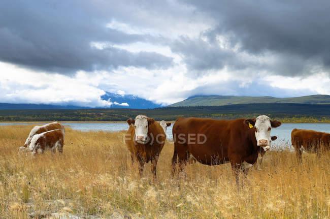Grasende Kühe auf der Weide von Choelquoit See, Chilcotin Region, Britisch-Kolumbien, Kanada — Stockfoto