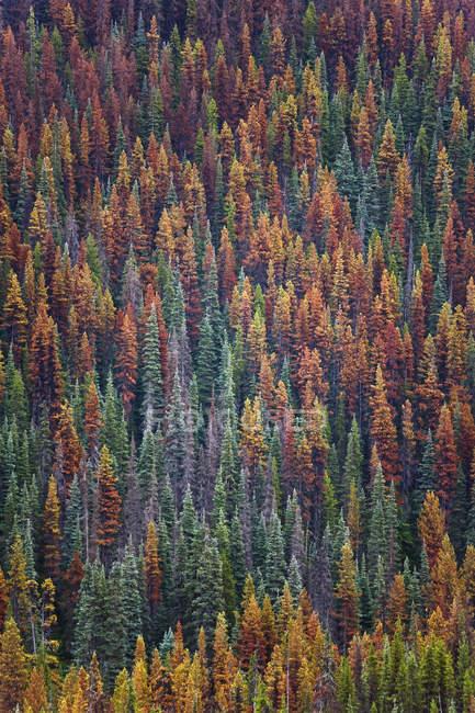 Floresta de pinheiros de montanha na folhagem outonal em Central de British Columbia, Canadá — Fotografia de Stock