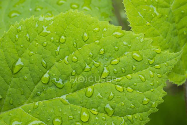 Raindrops on Hydrangea green leaves, close-up — Stock Photo