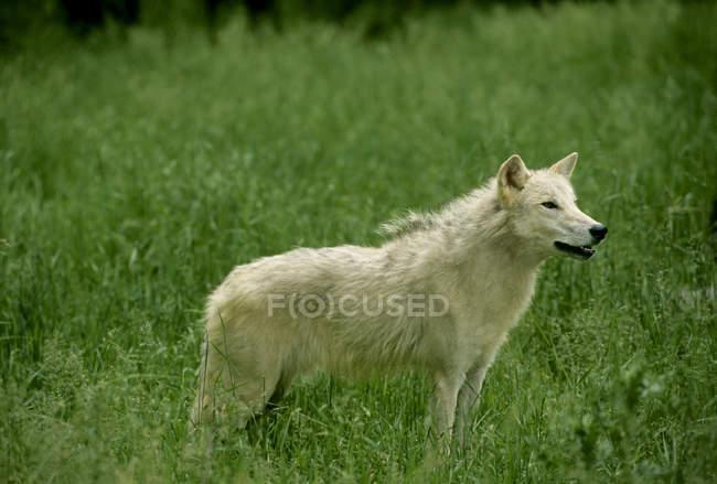 Белый волк стоя на зеленой траве в Альберте, Канада. — стоковое фото